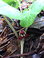 Asarum canadense - Wild Ginger 2.jpg