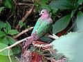 Asian Emerald Dove IMG 6494.jpg