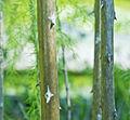 Asparagus scoparius tronc.JPG