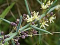 Asparagus stipularis (detail).jpg