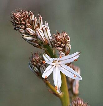 Asphodelus aestivus - Image: Asphodelus aestivus
