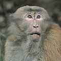Assam macaque (Macaca assamensis pelops) male head Nagarjun.jpg