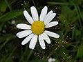 Astéracée (Asteraceae) (08).jpg