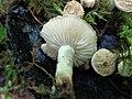 Asterophora lycoperdoides 86802909.jpg