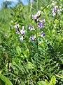 Astragalus austriacus sl23.jpg