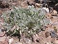 Astragalus calycosus (3849356492).jpg