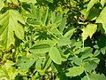 Astragalus canadensis 2017-05-23 0613.jpg