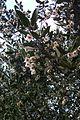 Atherosperma moschatum - Flickr - peganum.jpg