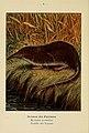 Atlas de poche des mammifères de France, de la Suisse romane et de la Belgique (Pl. 6) (6311642983).jpg
