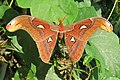 Attacus atlas - Atlas moth - at Peravoor (6).jpg