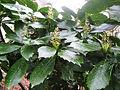 Aucuba japonica Spotted Laurel აუკუბა (2).jpg