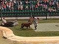 Australia Queensland tiger show - panoramio.jpg