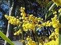 Australian Golden Wattle Blossums.jpg