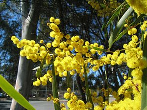 Australian Golden Wattle Blossums