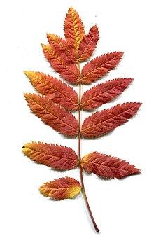 Autumn. Leaves - Sorbus aucuparia.jpg