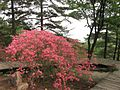 Azaleas on Mount Guifengshan in Macheng City, Huanggang, Hubei 26.jpeg