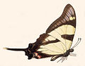 BCA – Eurytides orabilis.jpg