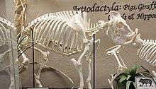 Babirusa Wikipedia