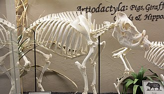 Babirusa - North Sulawesi babirusa skeleton (Museum of Osteology)