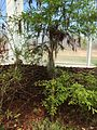 Baldcypress, Taxodium distichum, Sapling.jpg