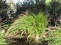 Baloskion tetraphyllum.JPG