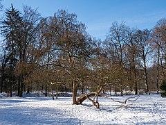 Bamberg Trompetenbaum Catalpa bignonioides-20210214-RM-120901.jpg