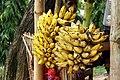 Bananas, Pritilata Hall, University of Chittagong (01).jpg