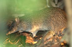 Bandicoot-in-grass-at-night.jpg