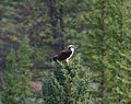Banff Osprey 1 (222388730).jpg