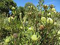 Banksia baxteri (8044483522).jpg