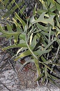 Banksia chamaephyton - Fishbone Banksia-5