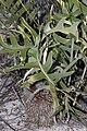 Banksia chamaephyton - Fishbone Banksia-5.JPG