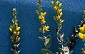 Baptisia arachnifera 2.jpg