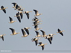 Bar-headed Goose (Anser indicus) (31622338467).jpg