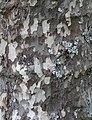 Bark 2 (31805500801).jpg