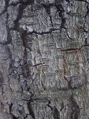 Albizia lebbeck - Bark of Albizia lebbeck