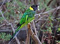 Barnardius zonarius -Gloucester National Park, Western Australia, Australia-8.jpg