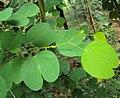Bauhinia tomentosa 06.JPG