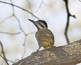 Bearded Woodpecker (Dendropicos namaquus).jpg
