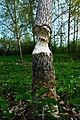 Beaver Bite Tree.JPG