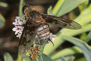 <i>Exoprosopa divisa</i> species of insect