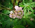 Begonia heracleifolia, known as Starleaf Begonia. (9429916125).jpg