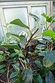 Begonia loranthoides subsp. loranthoides-Jardin botanique de Berlin (5).jpg