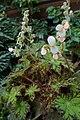 Begonia subacida 'Cleopatra' kz02.jpg