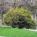 Berberis julianae shrub in flower.jpg