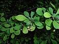 Berberis thunbergii Microphylla 2016-04-19 7564.jpg