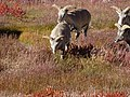 Bharal (blue sheep) WTK20150921-DSC00166.jpg