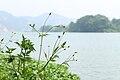 Bidens pilosa in Jiangxi.JPG