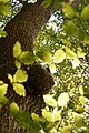 Bienen-Nest an einem Baumstamm 4.JPG