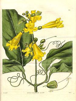 Bignonia grandifolia - Curtis.jpg